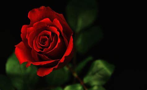 wallpaper rangkaian bunga mawar koleksi gambar bunga mawar terindah yang belum ada ketahui