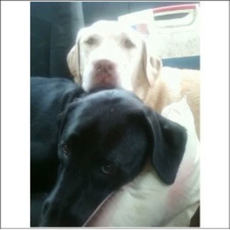 lab puppies nj crooked pine kennels labrador retriever breeder in new new jersey