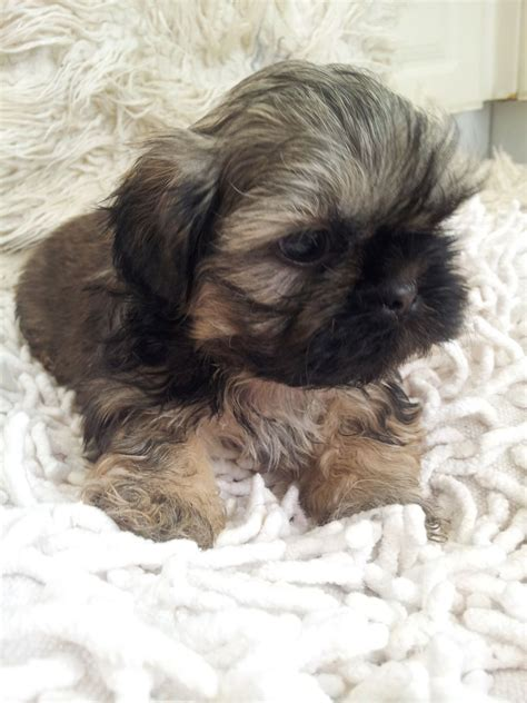 imperial shih tzu uk shih tzu pappies ready now gloucester gloucestershire