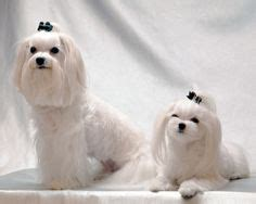 joypia yorkshire haircuts 1000 images about dog grooming ideas on pinterest