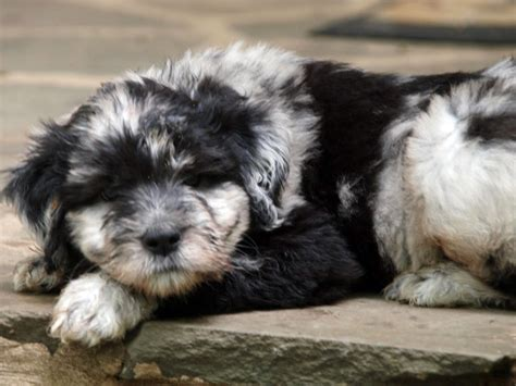bergamasco puppies pin by shea rini on herding dogs