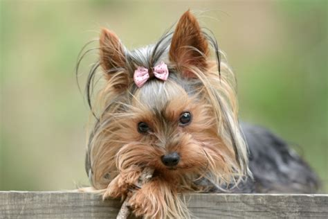 tea cup yorkies hair type dog breeds that don t shed pawculture