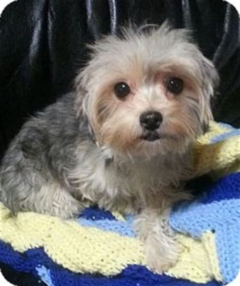 maltese yorkie mix puppies adoption fefe adopted 59396 pasadena ca yorkie terrier maltese mix