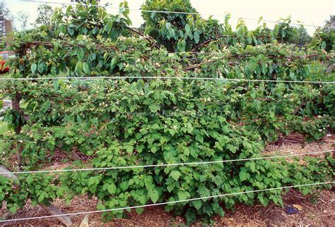 backyard berry plants raspberry bush fruit growing plant flower stock