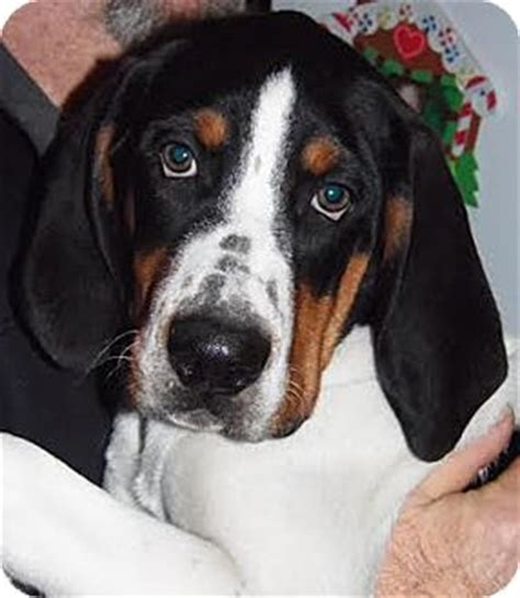 bernese mountain mn owatonna mn bernese mountain mix meet bailey a puppy for adoption