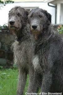 Dogs info wolfhound wolfhound dog