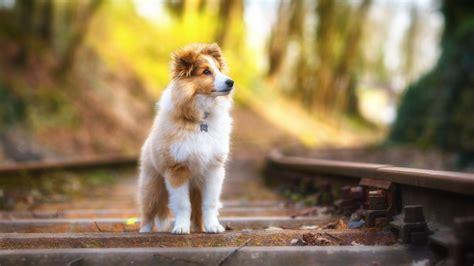 wallpaper shetland sheepdog puppy cute animals  animals