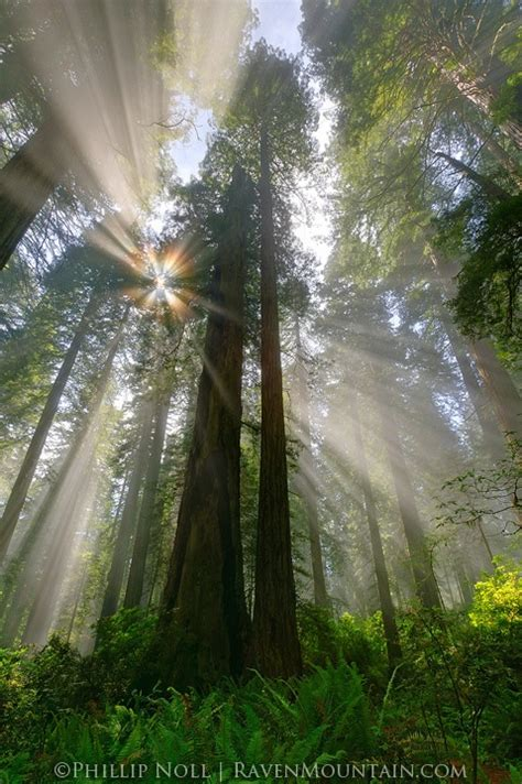 Redwood Lighting by Redwood Forest California Places