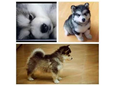how much is a pomeranian husky pomeranian husky picture collection and ideas dogs breed