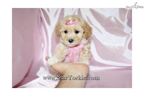 maltipoo puppies for sale los angeles yorkie poo for sale in los angeles breeds picture