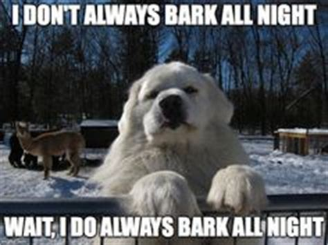 barking meme all things k9 on great pyrenees fleas and