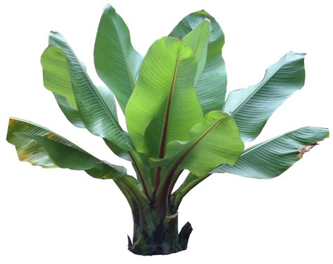 tropical plant species cut out plants on ficus plants and trees