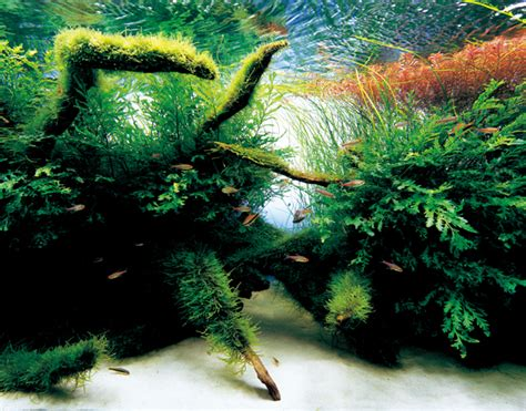 aquascape amano dumping marine aquarium idea in favor of the nature