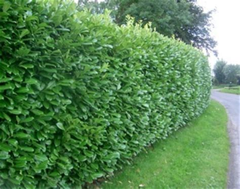 prunus laurocerasus rotundifolia hedge 5 prunus laurocerasus rotundifolia hedging plants and
