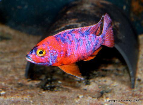 Stelan Fish Cat malawi cichliden kaufen fischversand per