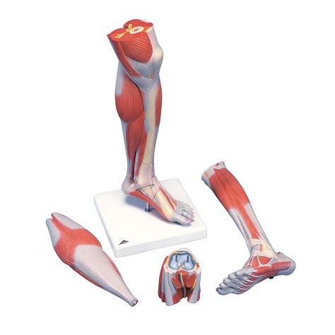lowered muscle anatomical teaching models plastic human muscle models