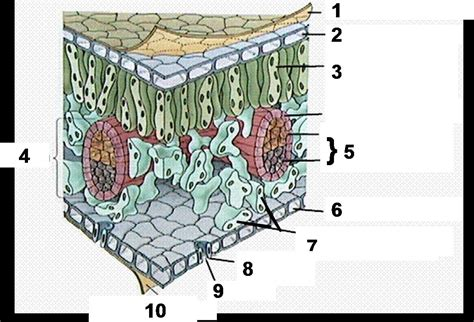 label the cross section of a leaf quia unit 5 leaves copy