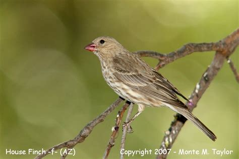 house finch arizona 541 x