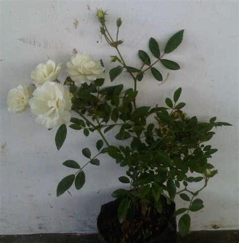 pot gantung mawar 01p putih tanaman white climbing bibitbunga
