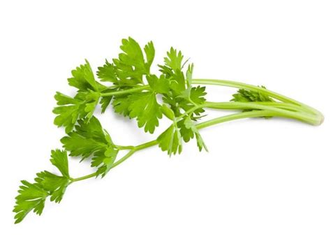 is celery bad for dogs image gallery salary vegetable