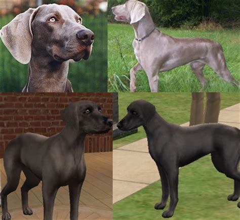 weimaraner colors weimaraner colors www pixshark images galleries