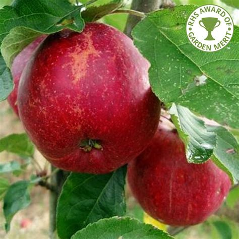 buy fruit tree jupiter apple tree