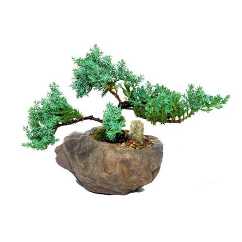 Bonsai Tree Planters by Bonsai Juniper Rock Planter 7 Quot