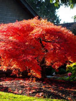 japanese maple shade buy japanese maple trees the tree center