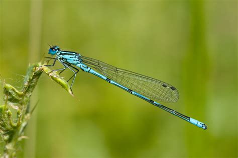 Dragonfly Project file coenagrion puella 16 loz jpg wikimedia commons