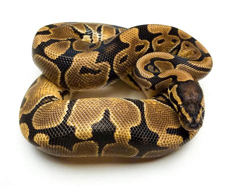 ball python bedding care sheets uptown pets