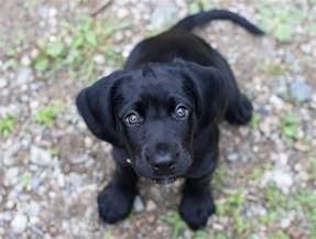 black lab puppy eyes aww