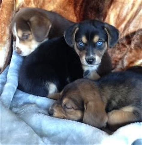 beagle husky mix puppies beaski beagle x siberian husky mix info temperament puppies pictures