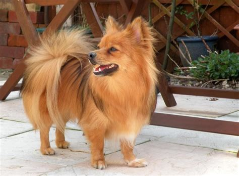 what is the lifespan of a pomeranian paperanian papillon pomeranian mix puppies info care pictures