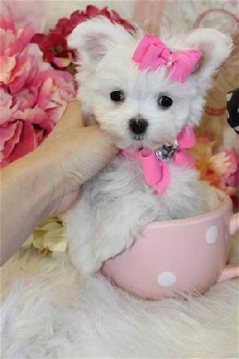 maltese puppies for sale in florida 1000 images about maltese for sale on adoption puppys and los
