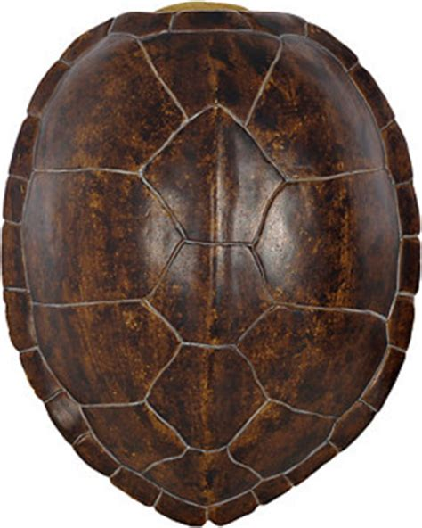 dried sea fans for sale here s a great deal on brown faux turtle shell wall plaque
