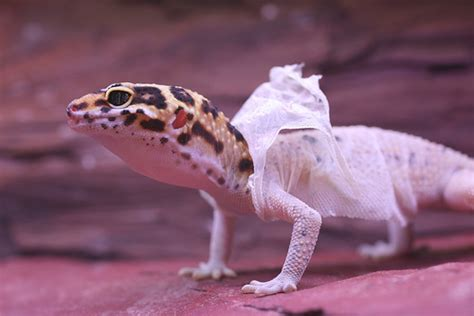 Leopard Gecko Shedding by Lizard Shedding Skin Clairemcc155