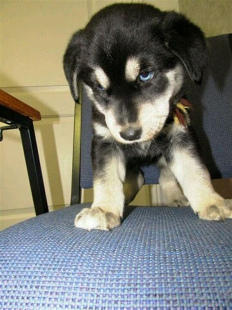 labsky puppy our lab husky mix puppy aliza furbaby labsky blue eyed mixed