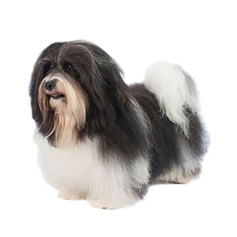 havanese size havanese find a breed petcentric by purina