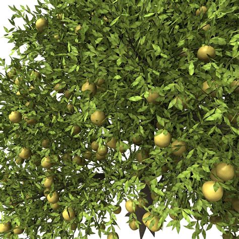citrus fruit tree xfrog trees grapefruit tree