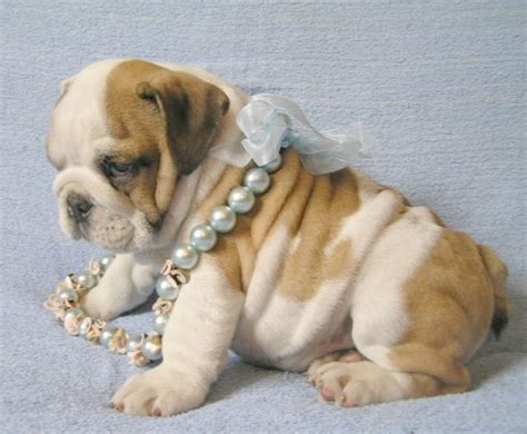 bulldog puppies for sale ny purebred bulldog puppies for sale in new york