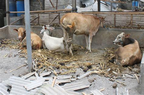 Tempat Pakan Ternak Sapi letusan gunung kelud evakuasi satwa ternak tidak