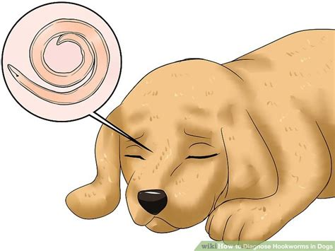 hookworms in how to diagnose hookworms in dogs 12 steps with pictures