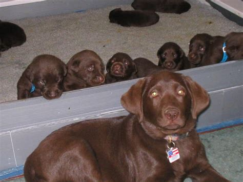 akc lab puppies for sale in nc how to your to not jump on the oregon labradors