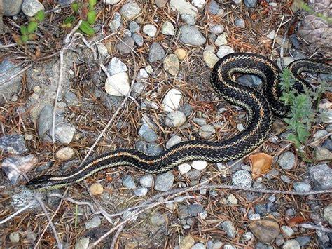 snake friendly garden attracting snakes   garden