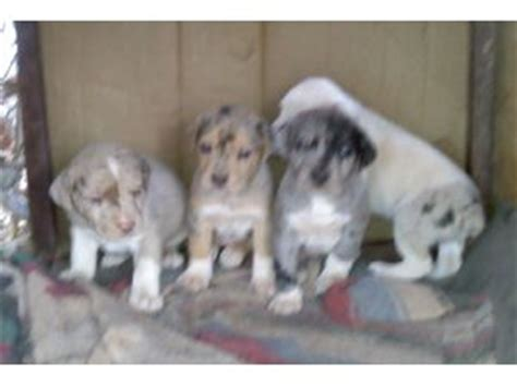 catahoula mix puppies for sale catahoula leopard puppies for sale