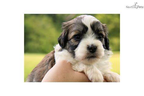 havanese breeders near me akc havanese registration havanese puppy for sale near atlanta