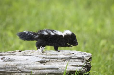 The Ideas Kitchen by What Is The Lifespan Of A Pet Skunk