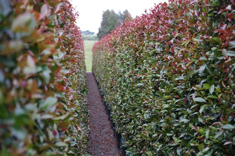 top screening plants for your garden and hedging shrubs