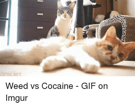 Cocaine Cat Meme - 25 best memes about cocaine cocaine memes