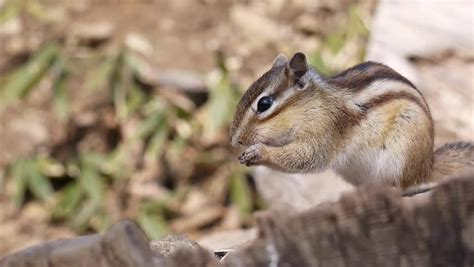Chipmunk Footage | Stock Clips